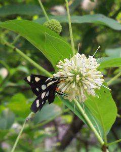 Eight spotted moth on buttonbush