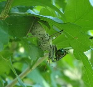 Assassin bug skewers Japanese beetle